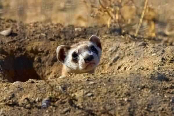 Black Footed Ferret - Mustela nigripes