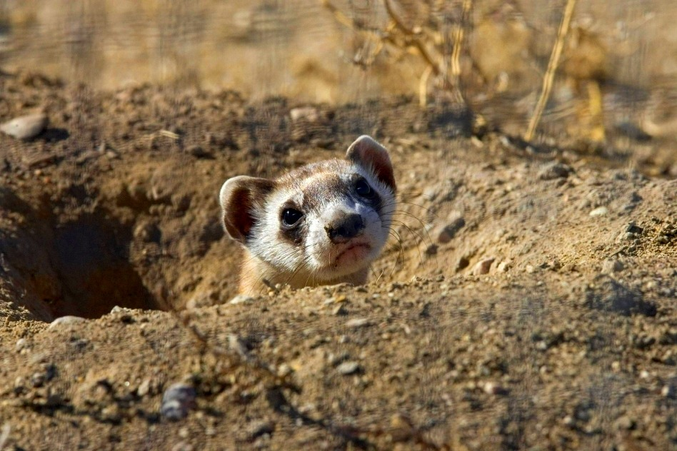Black Footed Ferret - Mustela nigripes