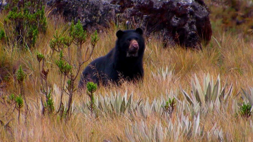 El oso andino, nuestro único oso suramericano.