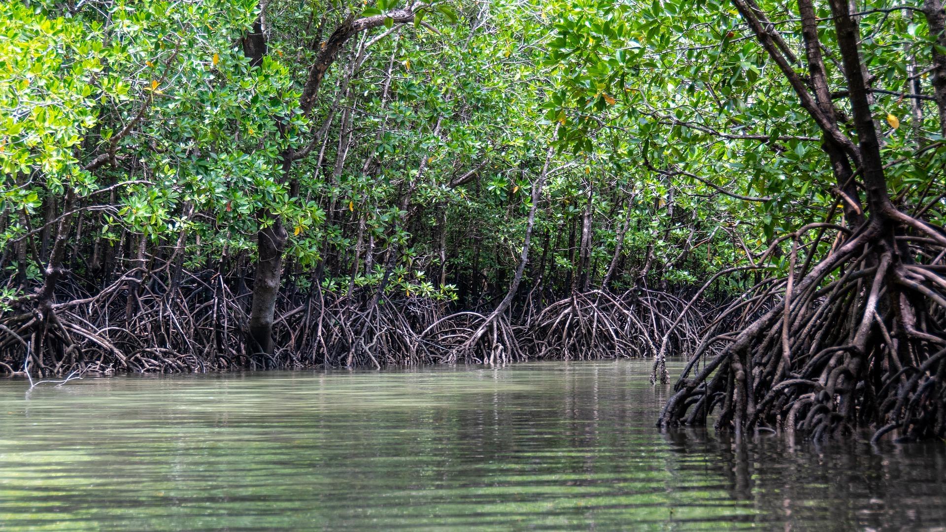 Los manglares hacen parte de los denominados bosques azules