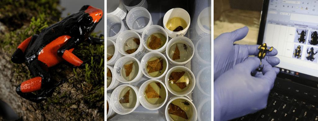 Tesoros de Colombia tiene licencia para la zoocria y exportación de ranas venenosas como mascotas. Fotos Tesoros de Colombia.