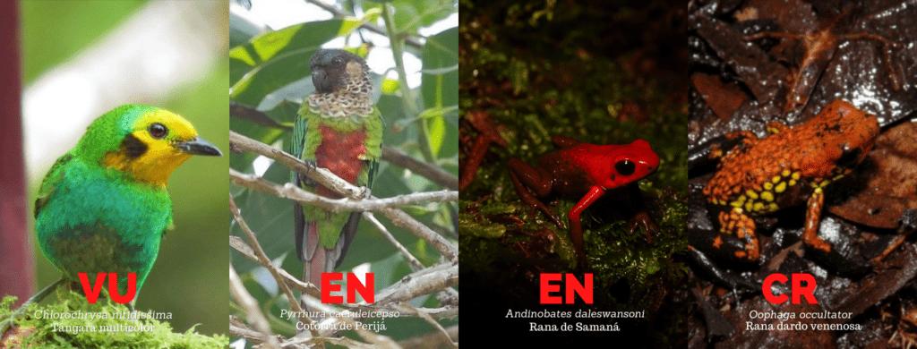 Varias de las especies aprobadas para captura y zoocria están en las categorías de En Peligro, Criticamente Amenazada y Vulnerable. Fotos, Proaves, Parques Nacionales y Oswaldo Cortes