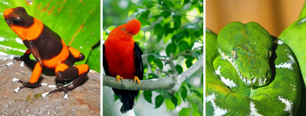 El gallito de roca, la boa esmeralda y ranas venenosas son algunas de las especies que están autorizadas para cazar y reproducir en cautiverio. Fotos, Tesoros de Colombia y Oswaldo Cortez