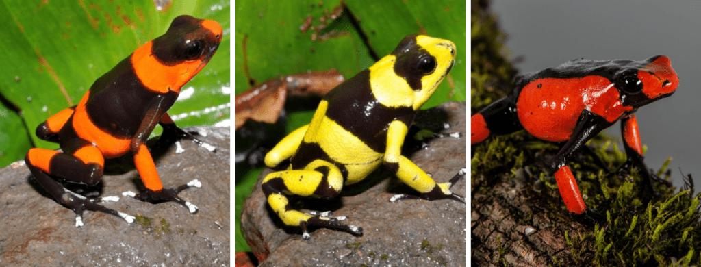 La rana venenosa de Lehmann Oophaga lehmanni un rana enn Peligro Crítico comercializada por Tesoros de Colombia a nivel internacional.Fotos Tesoros de Colombia.