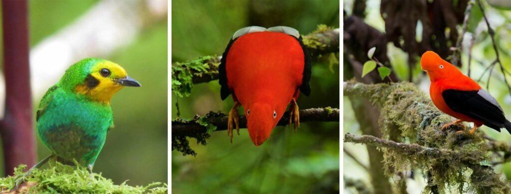 La Tángara multicolor y el Gallito de Roca son dos de las especies permitidas para captura y zoocria. Fotos Cortesía Oswaldo Cortes.