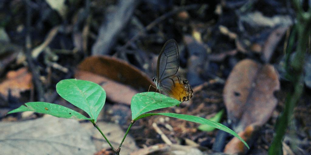 En la parte más baja del bosques, en búsqueda de la humedad las mariposas cristal aparecen y su apariencia es como la de un vitral.