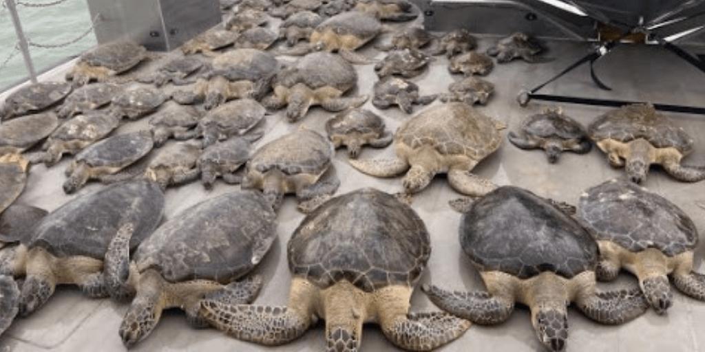 Más de 5000 tortugas fueron rescatadas en los últimos días, afectadas por las bajas temperaturas.