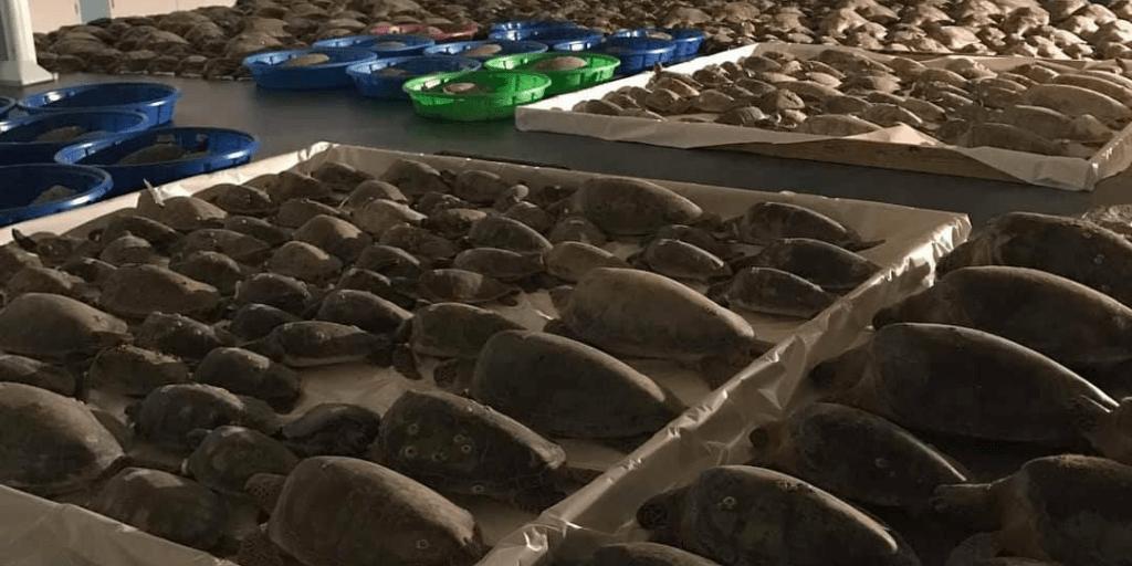 El aturdimiento por frio es un fenómeno que afectó a más de 5000 tortugas marinas en Texas Estados Unidos.