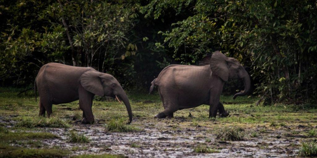 Los elefantes del bosque africano, son vulnerables por sus colmillos de marfil de color rosado.