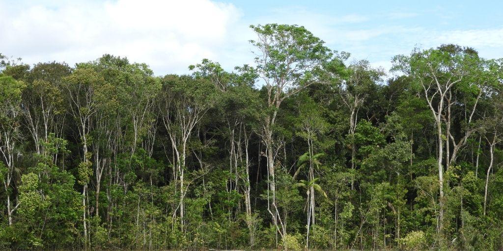 Aliwa es la selva más grande que crece en la transición Orinoco-Amazonas sobre las sabanas naturales del Vichada. Foto: Instituto Humboldt.