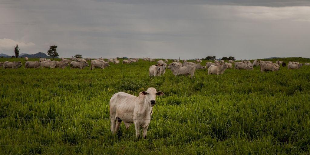 La ganadería es uno de los prinpales motores de deforestación en Brasil y Colombia.