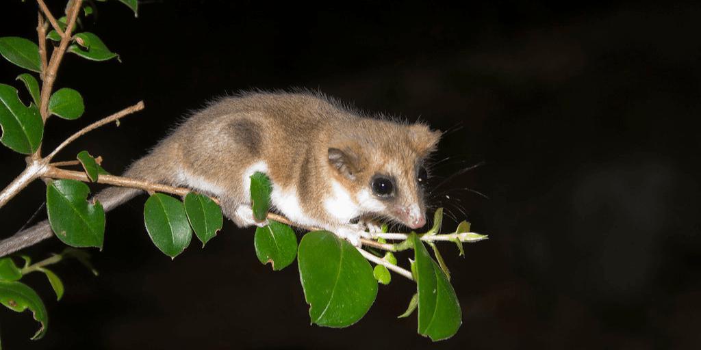 Es un marsupial minúsculo que habita entre Chile y Argentina.