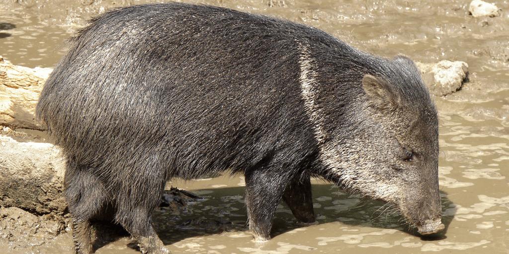 Pecarí del Chaco es un cerdo de monte muy carismático por sus grandes cachetes y orejas.