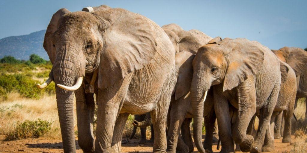 El elefante de sabana africana considerado recientemente En Peligro por la UICN