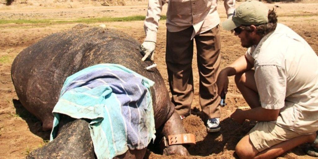 Primer Hipopótamo en el mundo con rastreador GPS en Tanzania.Foto cortesía Stears et al 2019