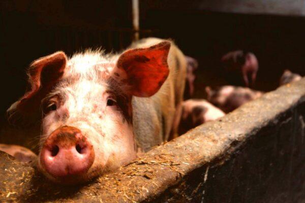 Cerdo portada
