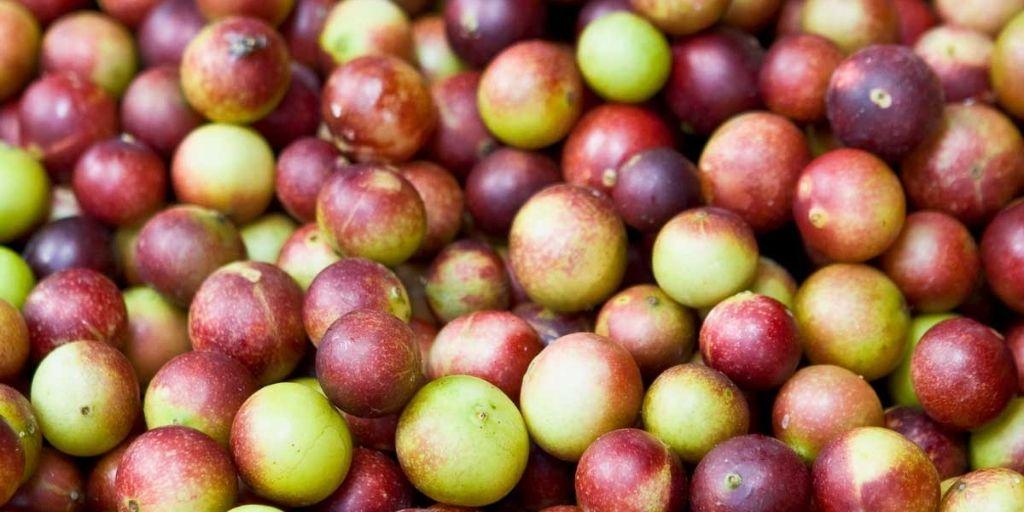 Camu Camu, una de las Plantas no Convencionales de la Amazonía, un súper alimento cada vez más popular.