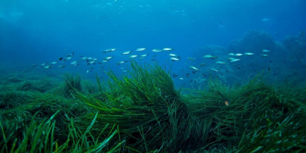 Los pastos marinos eliminan el dióxido de carbono del agua y usan el carbono para construir sus hojas y raíces