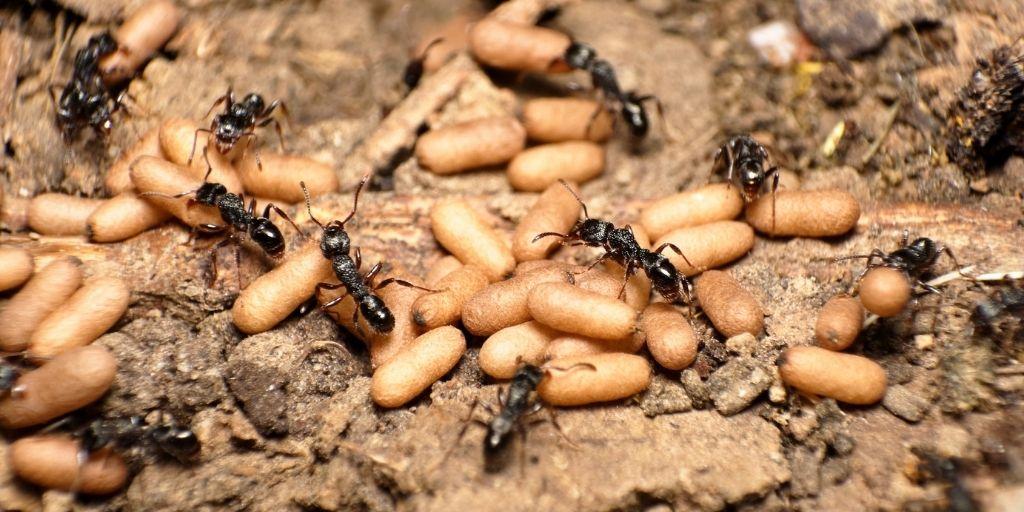 La hormiga argentina (Linepithema humile), una especie nativa de Sudamérica, se ha expandido a todos los continentes, excepto la Antártida.