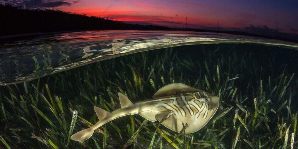 Los pastos marinos crean un hábitat crítico para especies marinas como la raya violinista oriental. Crédito: Banco de imágenes de arrecifes de coral de Jordan Robins
