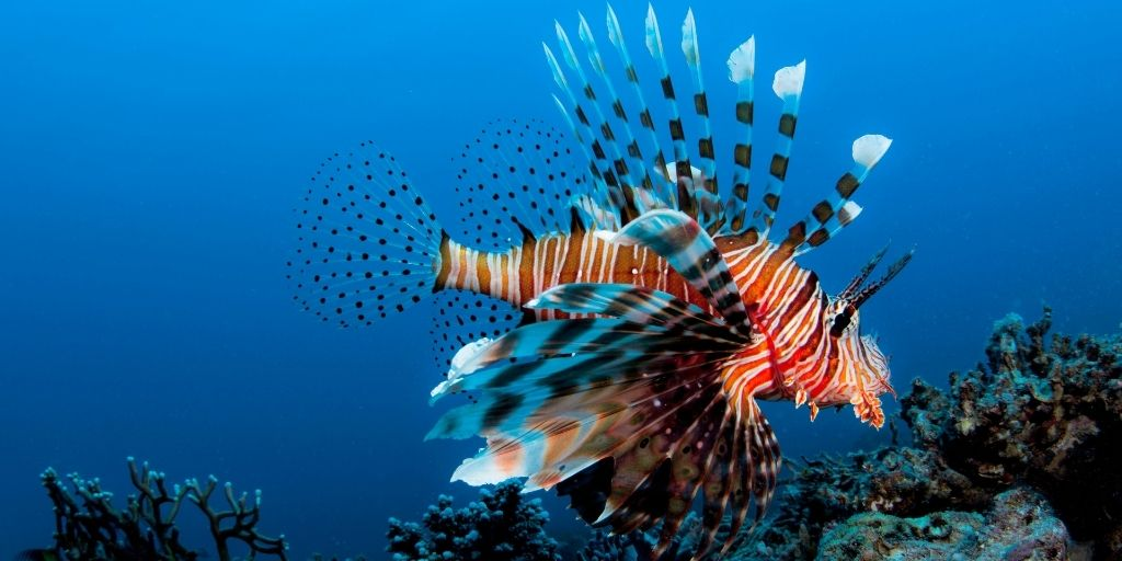 Originario de las cálidas aguas marinas de los océanos Pacífico Sur e Índico, el pez león ha causado daños muy importantes a la biodiversidad mediterránea.