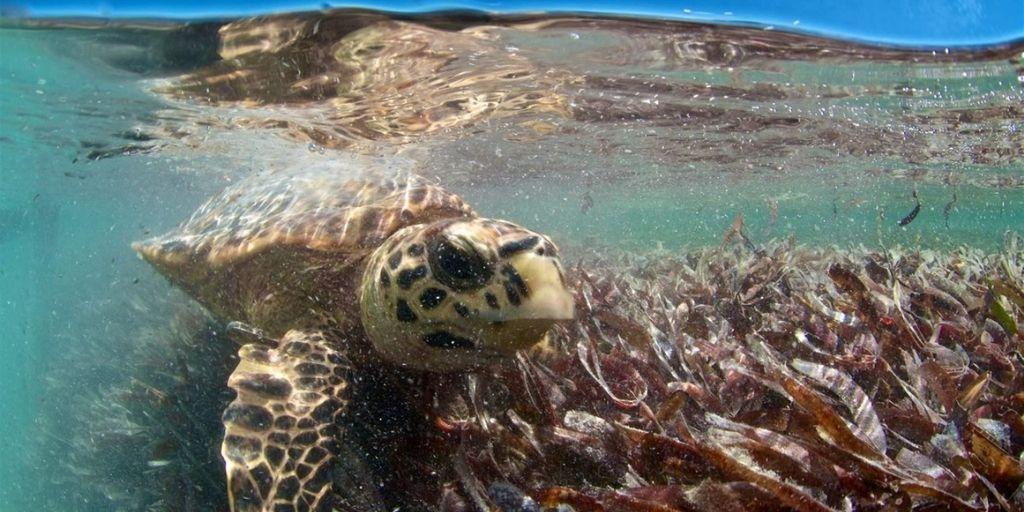 Una tortuga carey se alimenta en un prado de pastos marinos en Seychelles.
