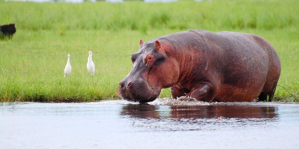 Un ejemplo claro son los movimientos que quieren cuidar los hipopótamos invasores.