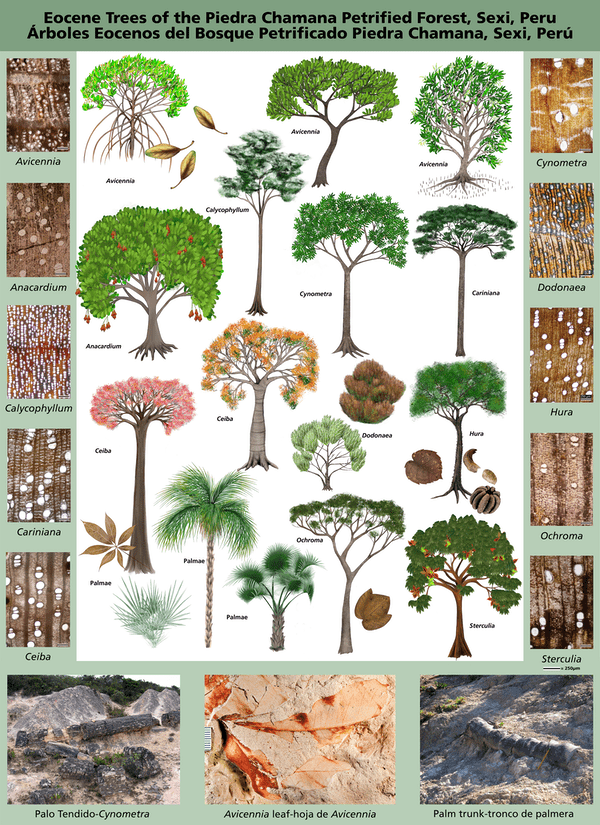 Variedades arbóreas de Sexi, Perú, con secciones transversales de los troncos. Mariah Slovacek/National Park Service, CC BY-ND