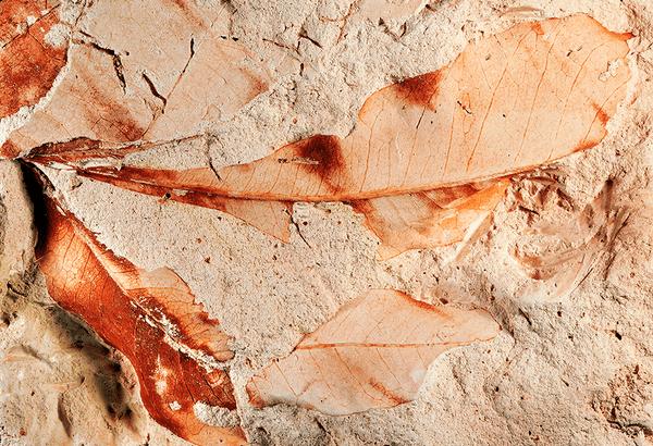 Estos fósiles de hojas pertenecían a un tipo de mangle, lo que indica que el bosque estaba originalmente cerca del mar. National Park Service, CC BY-ND