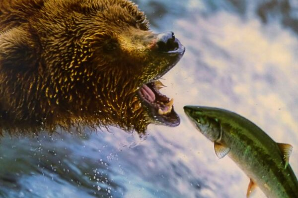 oso y salmon