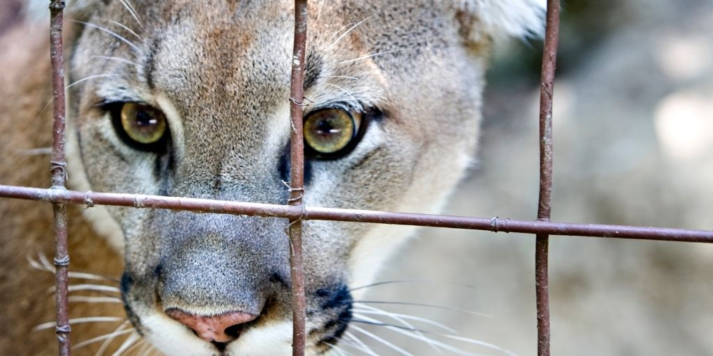 Los pumas de Bioandina vivieron más de 13 años en cautiverio con promesas de rehabilitación y liberación.