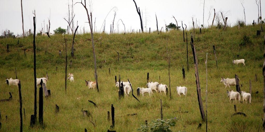 Actualmente, la carne de vacuno es la principal causa de la deforestación a nivel mundial, responsable del 41 % de la destrucción de selvas tropicales.