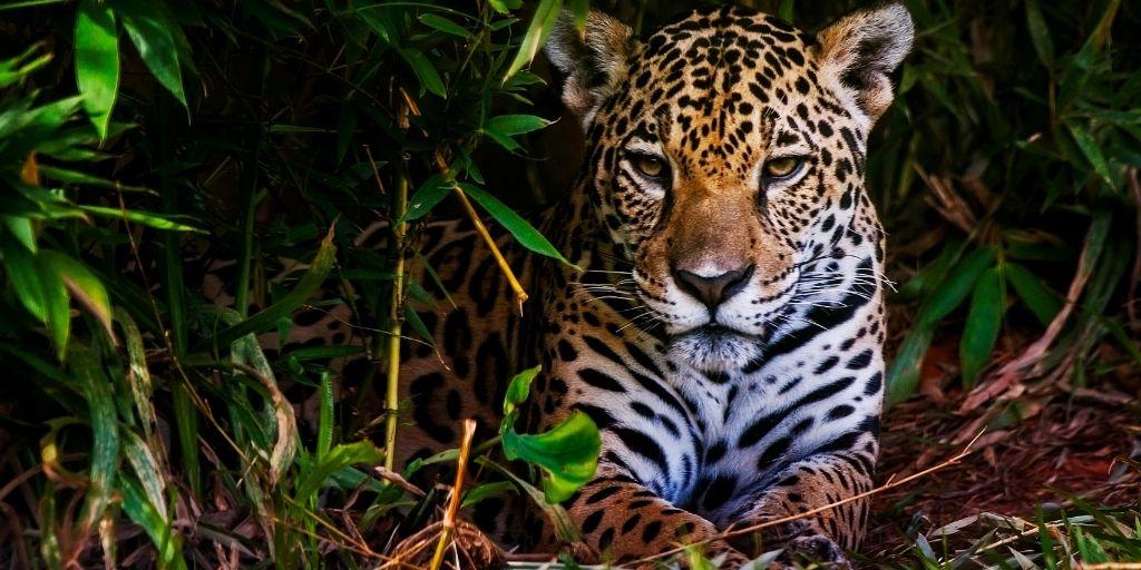 Dos casos en Latinoamérica muestran el cambio en la relación y el proceso de cierre de la brecha relacional entre humanos y depredadores como el jaguar.