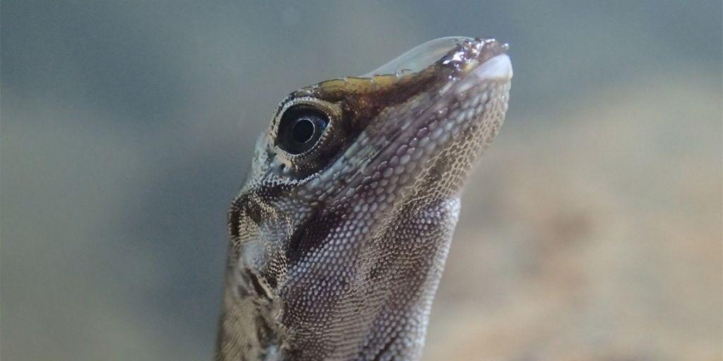 Primer plano de un lagarto Anolis con una burbuja de reinhalación en el hocico (foto de Lindsey Swierk)